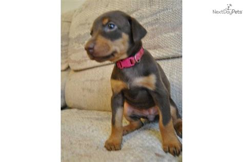 doberman puppies colorado doberman pinscher for sale for 800 near western slope colorado 3e9724be 74f1