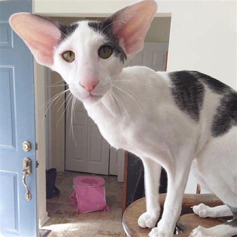 meet dobby cat the world s cutest house elf