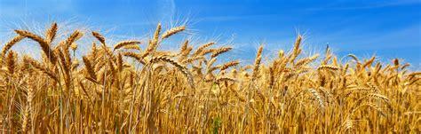 commercio foggia prezzo grano duro puglia grano duro stabile ormai da 20 giorni