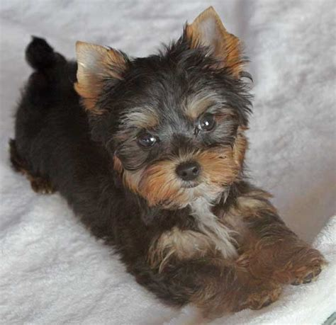 our heavenly yorkies yorkie poo puppy for sale at heavenly puppies breeds picture