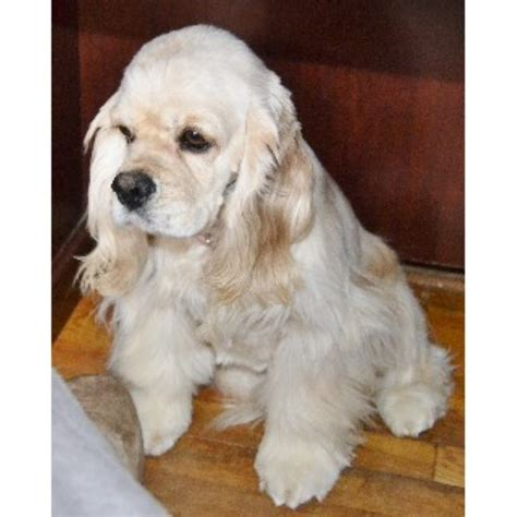 free puppies in iowa newfoundland breeders in iowa freedoglistings breeds picture