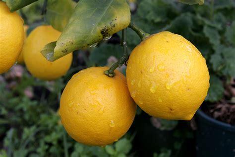 The Pair by File Pair Of Lemons Jpg