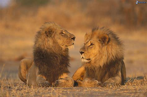 imagenes de aguilas y leones leoni