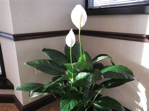 Caring For Flowers In A Vase Plant Of The Month Peace Lily Spathiphyllum Engledow