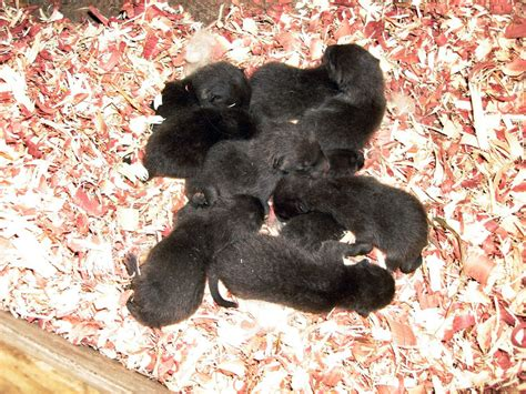 free puppies mn arctic fox puppies born at como zoo in minnesota photos huffpost