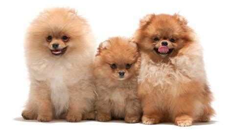 define pomeranian pomeranian wallpapers hd