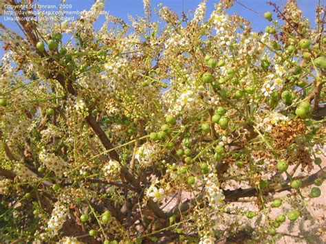 plantfiles pictures arabian frankincense boswellia sacra by timrann