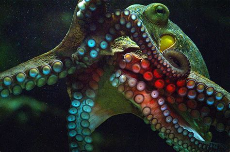 colorful octopus colorful octopus pictures www imgkid the image kid