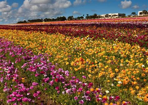 Flower Garden Carlsbad The Carlsbad Flower Fields In Bloom