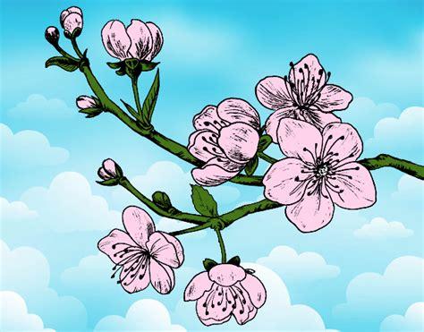 disegno fiori di ciliegio disegno ramo di ciliegio colorato da utente non registrato