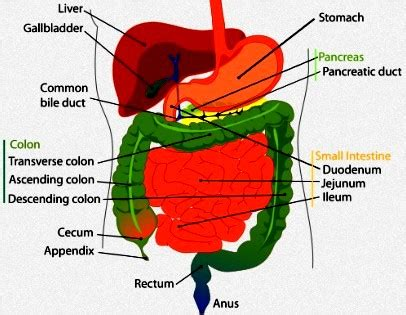 diagram of intestines book parts diagram book free engine image for user