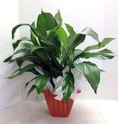 Sympathy Gift Baskets Peace Lily Plant Phoenix Az