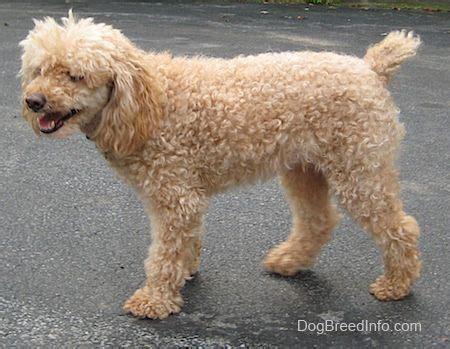 mini poodle information 25 best ideas about mini poodles on