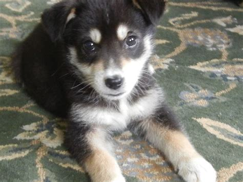 husky lab mix puppies 25 best ideas about husky lab mixes on lab mix puppies labrador husky
