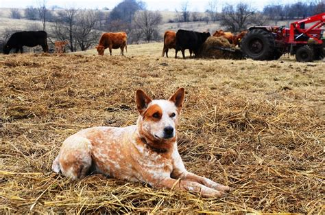 best farm dogs best farm dogs breeds for keeping your farm safe