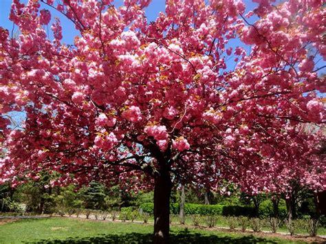 Cherry Blossom Festival Brooklyn Botanic Garden Botanical Garden Cherry Blossom Festival
