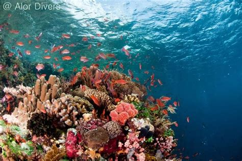 dream indonesia dreamindonesiacom dive of aspasia dive kal s dream alor pantar indonesia