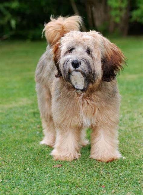 tibetan terrier puppy tibetan terrier