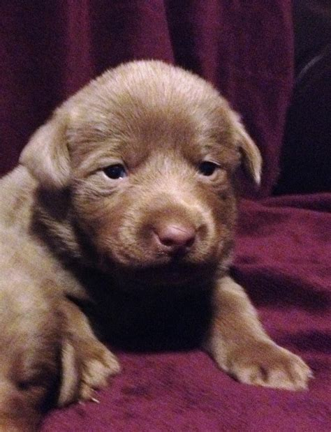 silver lab puppies for sale in indiana fry silver labs labrador retriever breeder martinsville indiana