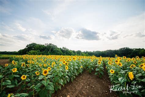 sunflower field i found my sunflower fields rachel liu photography