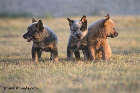 australian cattle puppy australian cattle puppies rescue pictures information temperament