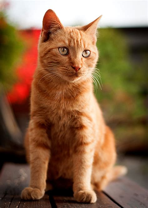 cat wallpaper vertical pin orange tabby on pinterest