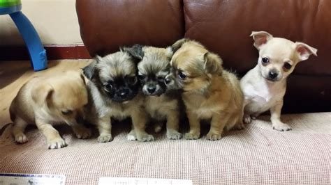 largest litter of puppies stunning litter of chihuahua puppies for sale huddersfield west pets4homes