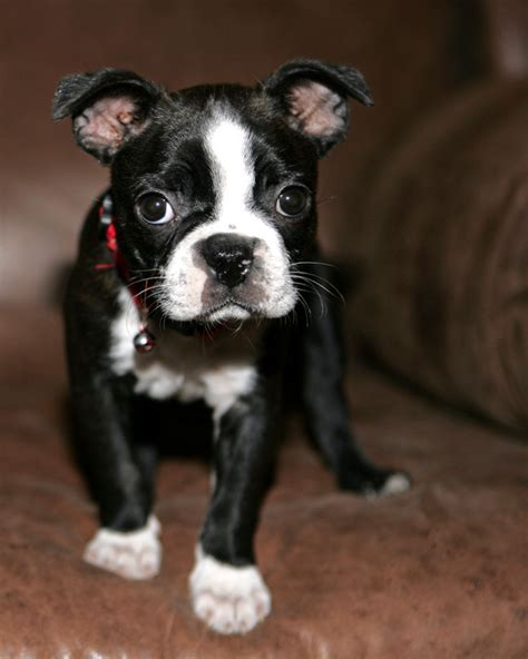 puppy boston terrier boston terrier italian greyhound mix breeds picture