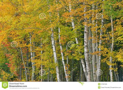 autumn birch forest royalty free stock image image 27097026