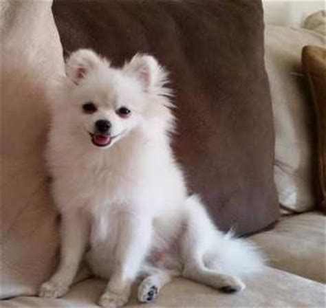 pomeranian white white pomeranian all about white pomeranian puppies and dogs