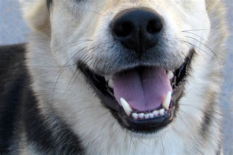 puppy smile do animals laugh ancient animal instincts a moment of science indiana media