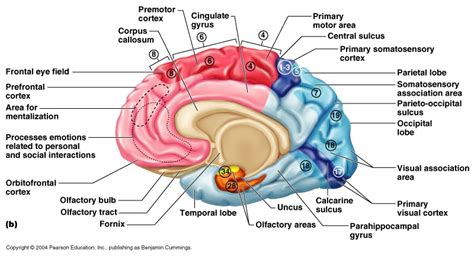 sensory and motor areas of the brain sensory and motor areas of cerebral cortex