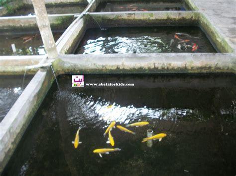 Jual Bibit Ikan Lele Di Bandar Lung ikan koi untuk menghias kolam di taman jual bibit ikan