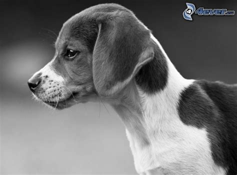 black and white beagle puppies beagle puppy