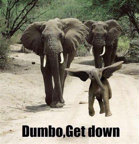 dumbo   funny elephant meme