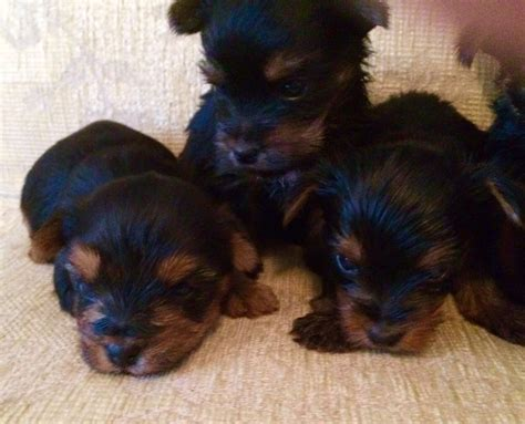 yorkie puppies for sale bc 6 terrier puppies for sale st albans hertfordshire pets4homes
