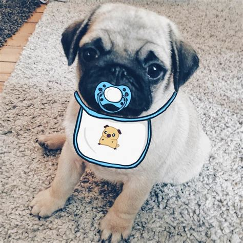 bored pug my and i to doodle on our pug s 15 pics bored panda
