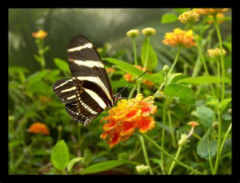 imagenes de mariposas oscuras im 225 genes de mariposas delyn22 s blog