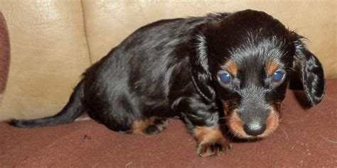 dachshund puppies for sale rochester ny miniature dachshund puppies for sale orlando merry photo