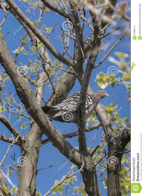 tree doves dove on tree stock photo image 61966111