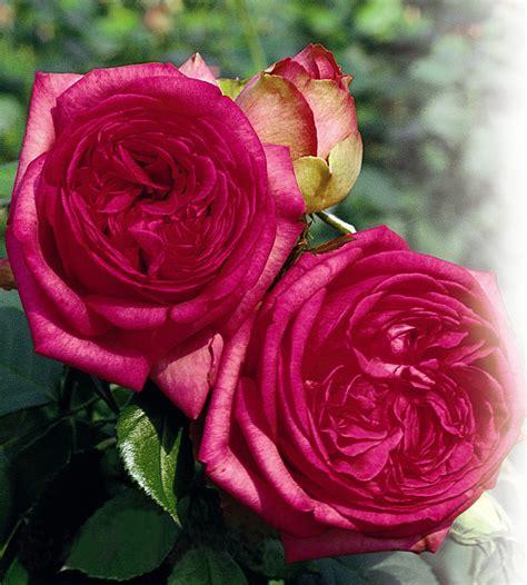grandi fiori tantau 174 grandifiori produzione e vendita all