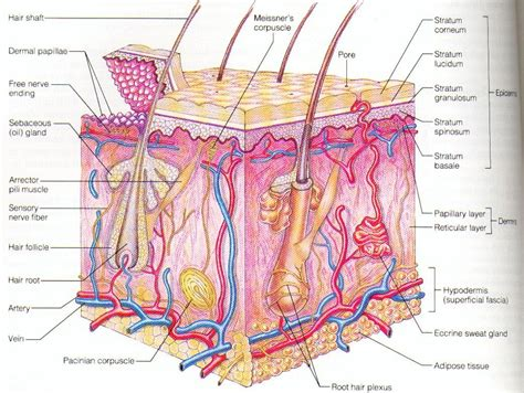 diagram of a skin 187 human skin