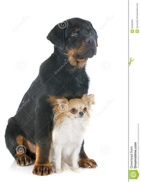 chihuahua and rottweiler rottweiler and chihuahua stock images image 35562304