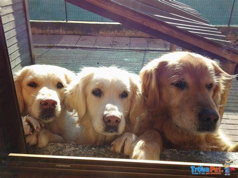 allevamento golden retriever pavia cuccioli golden retrivers in vendita a casorate primo pv