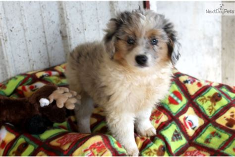 aussiedoodle puppies for sale aussiedoodle puppy for sale near columbia jeff city missouri 80da412e 5c11