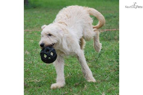 Non Shedding Labradoodle by Labradoodle Puppy For Sale Near West Palm Florida