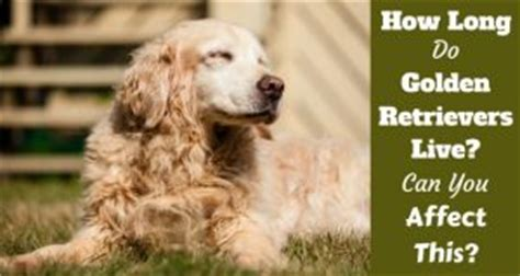 how often should i bathe my golden retriever an intro to caring for your golden retriever