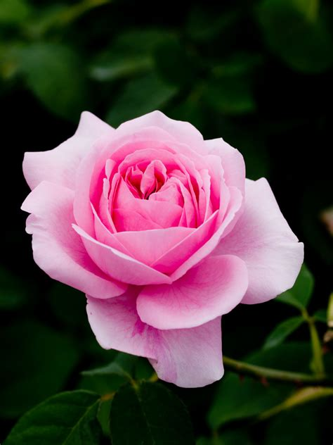 roses are on roses and pink roses