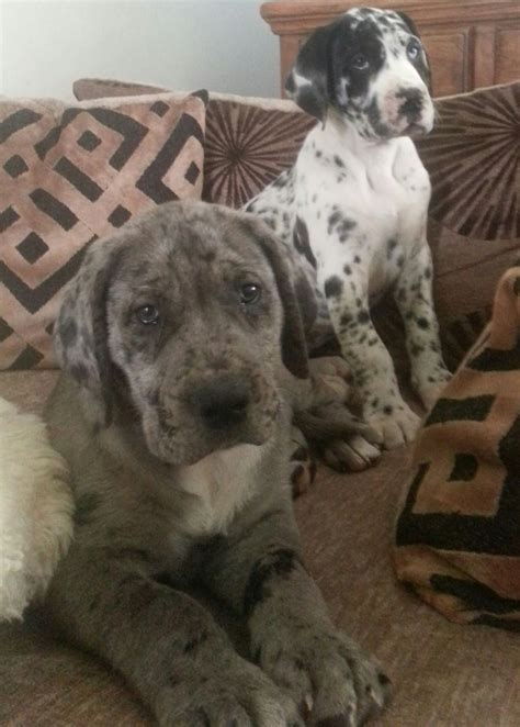 great daniff puppies for sale daniff puppies for sale mastiff great dane