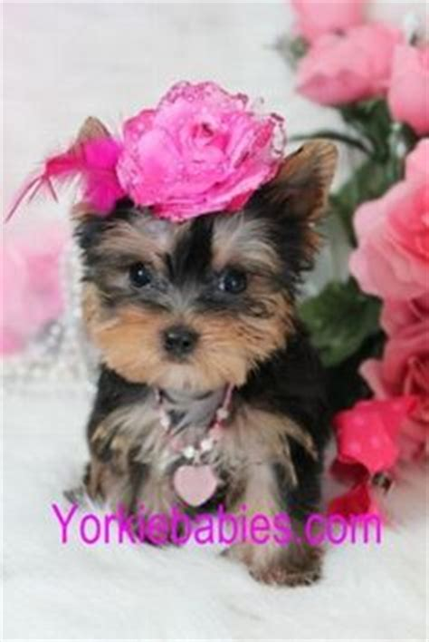 how much are tea cup yorkies i want a teacup yorkie for my max needs a i my yorkie